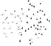Silhouette of flying pigeons. Stock Images