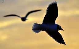 The silhouette of flying seagull stock images