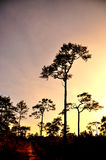 Silhouette of forest pine tree. On mountain Royalty Free Stock Photo