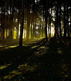 Silhouette of Forest Tree in Morning Dawn Royalty Free Stock Photography