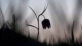 Silhouette of fritillary flower at sunset stock video footage