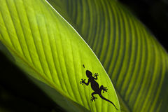 Silhouette of a Gecko and a fly on a leaf. Macro shot of a gecko and a fly on a leaf isolated on black Stock Image