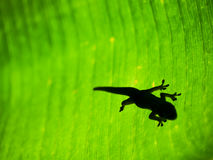 Silhouette of Gecko on Tropical Leaf Background Stock Images