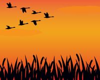 Free Silhouette Geese And Marsh Royalty Free Stock Photography - 4463437