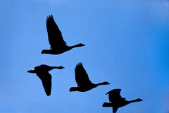 Silhouette of geese in sky. Stock Images