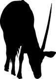 Silhouette of a gemsbok looking for food Royalty Free Stock Photography