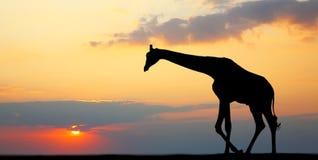 Silhouette of a giraffe Royalty Free Stock Photos