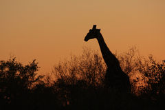 Silhouette of a giraffe Stock Image