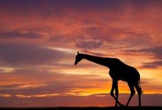 Silhouette of a giraffe Stock Image