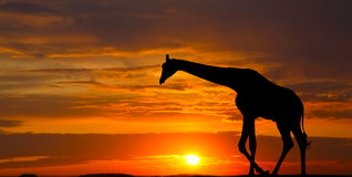 Silhouette of a giraffe Royalty Free Stock Image