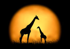 Silhouette giraffe on the background of sunset Stock Photo