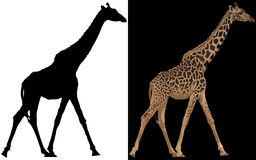 Silhouette of giraffe Royalty Free Stock Photography