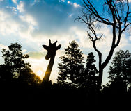 Silhouette giraffe Royalty Free Stock Photography