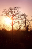 Giraffe Silhouette during sunset in africa Royalty Free Stock Photography