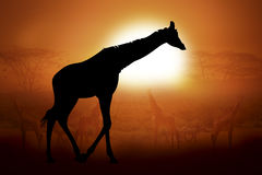 Silhouette of a giraffe in sunset Royalty Free Stock Image