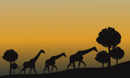 Silhouette of giraffe and yellow sky Stock Images