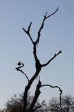 Silhouette of goose in a tree Royalty Free Stock Photos