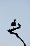 Silhouette of goose in a tree Stock Images