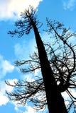 Silhouette grande d'arbre de pin Photographie stock libre de droits