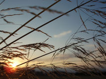 Silhouette of grass Royalty Free Stock Images