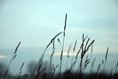 Silhouette of grass Stock Image