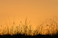 Silhouette of grass blades at sunset Royalty Free Stock Photography