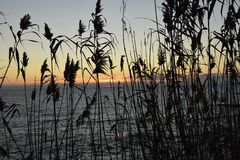 The silhouette of the grass Calamagrostis at sunset Royalty Free Stock Images