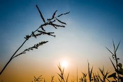 Silhouette Grass flower in colorful evening sky. Silhouette Grass flower and colorful evening sky royalty free stock photos