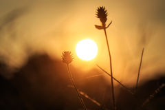 Silhouette of Grass flower Stock Image