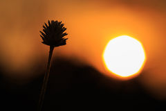 Silhouette of Grass flower Royalty Free Stock Photos