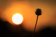Silhouette of Grass flower Royalty Free Stock Images