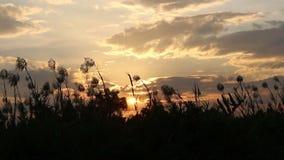 Silhouette grass flower on sunrise stock video