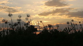 Silhouette grass flower on sunset stock video footage