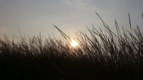 Silhouette grass flower on sunset stock video