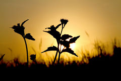 Silhouette of grass flowers during sunset Stock Images