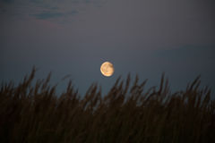 Silhouette grass on full moon background Royalty Free Stock Photography