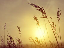 Silhouette of grass in misty sunrise Royalty Free Stock Photography