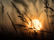 Silhouette from grass and orange sky at sundown. Blurred background Stock Images