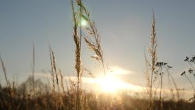 Silhouette of grass in the sunset. stock footage