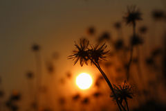 The silhouette of grass. Royalty Free Stock Photography