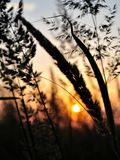 Silhouette of grass in sunset Stock Image