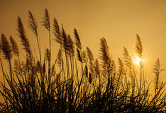 Silhouette grass at sunset. Pampass grass at sunset silhouette Royalty Free Stock Image
