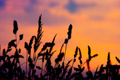 Silhouette grasses Stock Photo