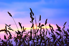 Silhouette grasses Stock Photography