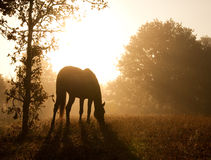 Silhouette of a grazing horse against morning sun Royalty Free Stock Photo