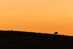 Silhouette of grazing sheep Stock Photo