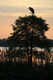 Silhouette of Great Blue Heron on Bald Cypress Tree at Sunrise Royalty Free Stock Photo