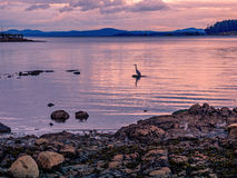 Silhouette of a Great Blue Heron fishing  at the sunset time Stock Photography