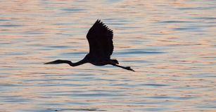 Silhouette of Great Blue Heron flying over water Stock Photo