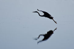 Silhouette of Great Blue Heron Landing Stock Image